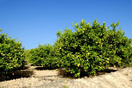 Lemon trees plantation with ripe fruits Foto de archivo