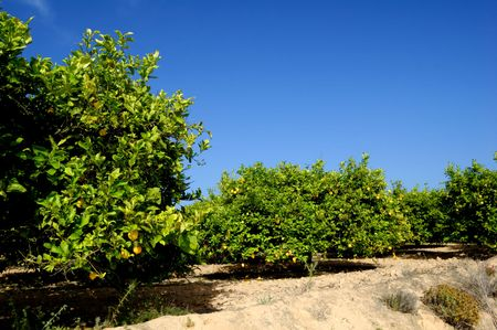 Lemon trees plantation with ripe fruits photo