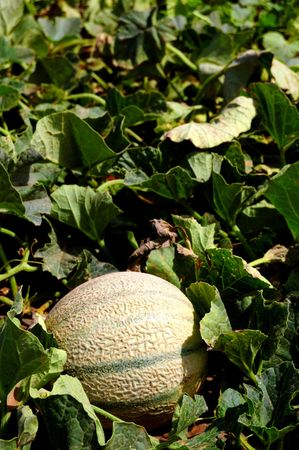 Field of melons, spanish agriculture