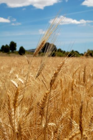 Ripe wheat and blue sky, harvest time in Spain Stock Photo - 5029270