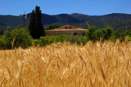Ripe wheat and blue sky, harvest time in Spanish farmhouse with windmill photo