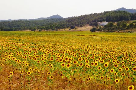 Spanish agricolture, a sunfloers field with farmhouse photo