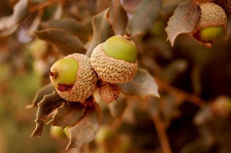 Oak branch detail with acorns Stock Photo - 5486024
