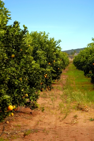 Orange trees plantation with ripe fruits in Spain photo