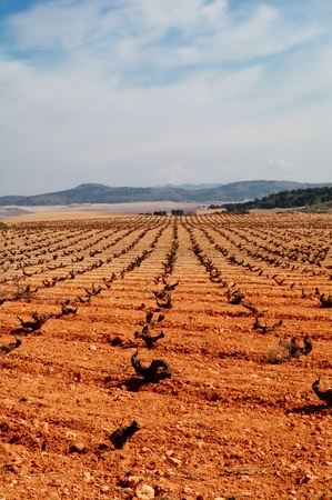 Typical vineyard in Spain, Tempranillo grapes in Castilla La Mancha
