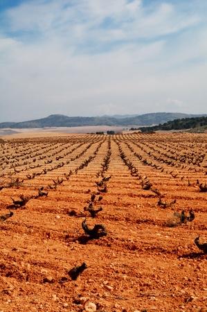 castilla la mancha: Typical vineyard in Spain, Tempranillo grapes in Castilla La Mancha