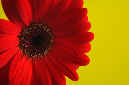 reg: Reg gerbera flower detail on yellow background