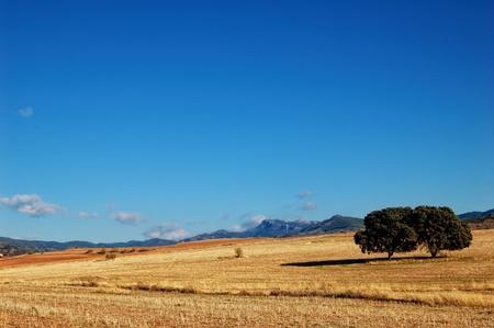 blue sky and fields: Spanish landscape in Castilla La Mancha, field with oaks