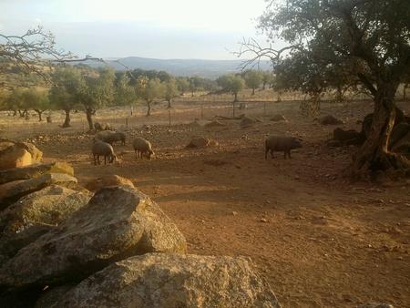 cerdo: Spanish breeding, cerdo Iberian black pig