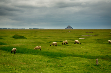 mont saint michel: Countryside landscape with sheep and Mont Saint Michel Abbey on background Stock Photo