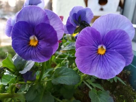 Blue pansies Archivio Fotografico - 100404912