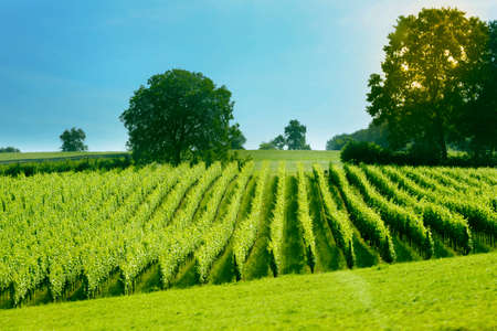 green young vineyard located in the mountains photo