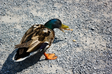 Hungry wild duck eats the bread