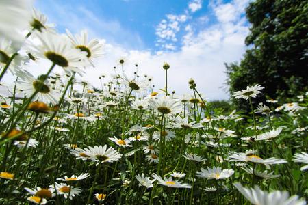 sepals: Camomile field. Stock Photo