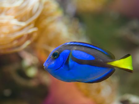 surgeon fish: Tang de cirujano de Hipo azul