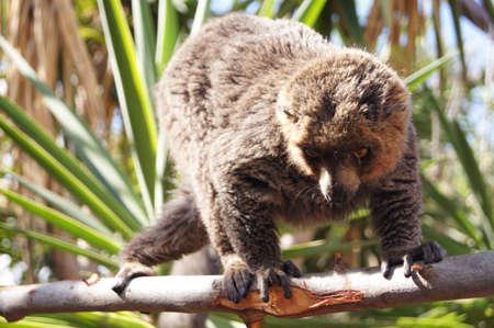 mangosta: Mongoose Lemur