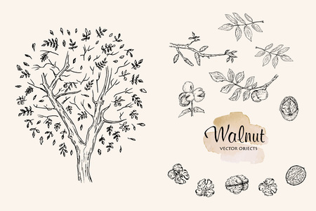 Vector illustration pen style drawing walnuts set. Vector objects.