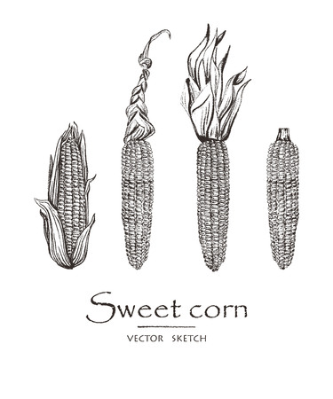 Vector illustration. Sketch drawing sweet corn. Vector chalk style objects set.  イラスト・ベクター素材