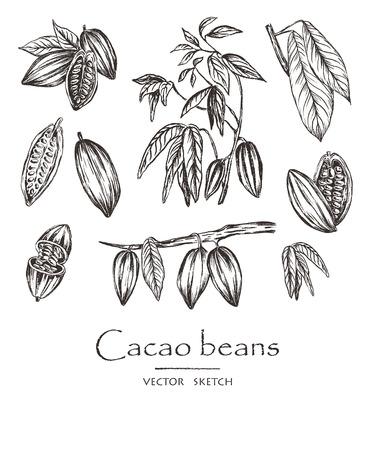 Illustration vectorielle. Croquis de fèves de cacao dessinés à la main, feuilles et branches de cacaoyer. Ensemble de vecteurs de style craie.