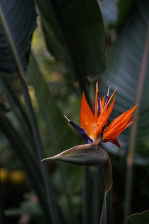 Strelitzia Reginae flower buird of paradise flower on green leaves background
