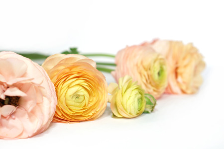 Yellow pink green ranunculus flowers on white surface . Floral background