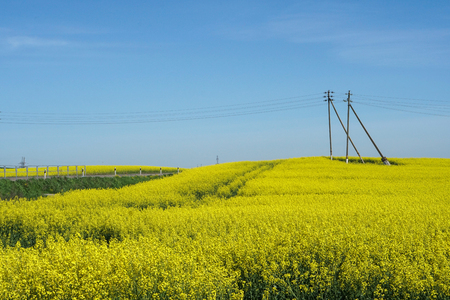 Yellow canola field on blue sky background Electrical wires