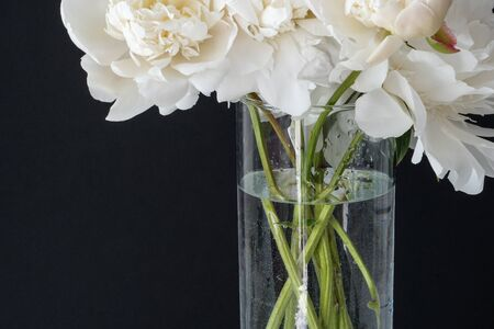 White fluffy peonies flowers in vase on black background Stock Photo