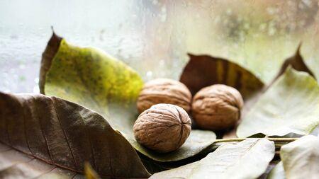 Autumn harvest. Ripe walnuts with tree leaf on rainy window background Reklamní fotografie
