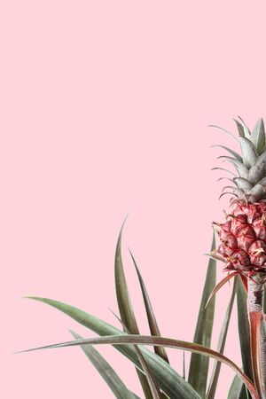 Pineapple plant on pink background. Photo template