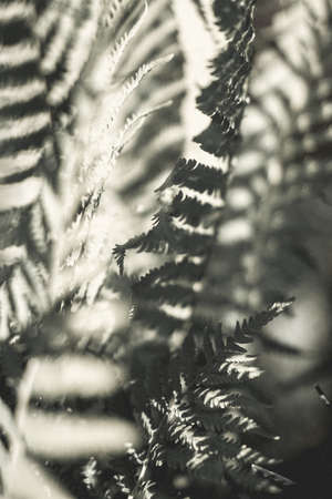 Fern leaves silhouettes, forest foliage in the sun glare. Art photogra