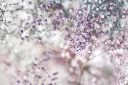 Colorful gypsophila, airy masses of small flowers. Photo