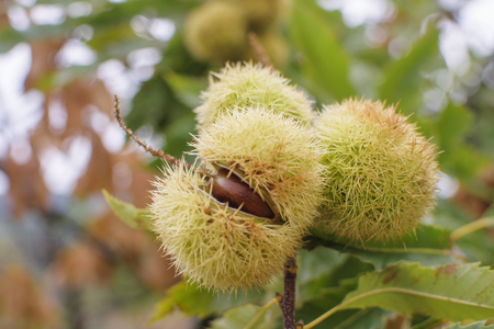 castanea sativa: Chestnut (Castanea sativa) fruit in a branch
