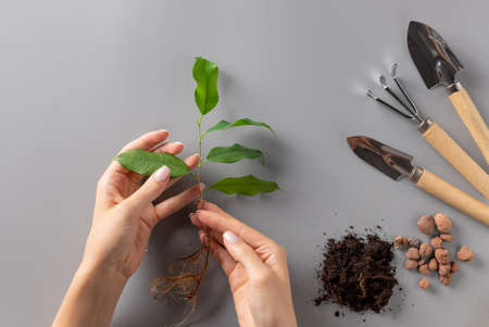 womans hands holding young seedling and set of gardening tools