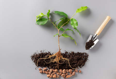 young green plant with soil, drainage and shovel. Growing plants. Archivio Fotografico