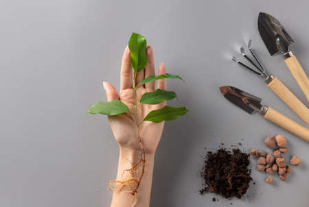 young plant in female hand and set of gardening tools. Plant care.