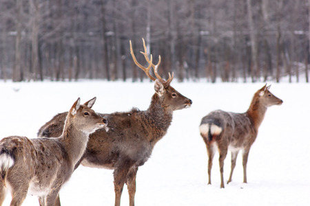 herd of deer: A large herd of Sika deer standing in the woods in winter. Stock Photo