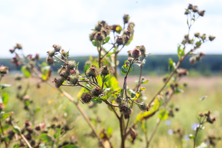 leningradskaya: Thistle growing in a summer field, Russia.