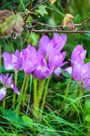 crocuses: Flowers crocuses grow among the grass in the garden.