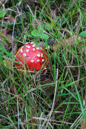 Big mushroom a fly agaric ( Amanita) growing in the forest.