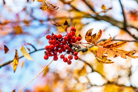Clusters of Rowan berries hang on the background of yellow and green leaves. Autumn in Russia.