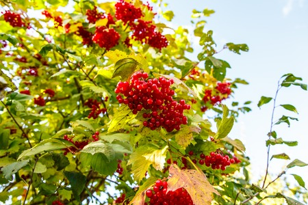 Bunches hang berries of viburnum on a background of yellow and green leaves. Autumn in Russia.