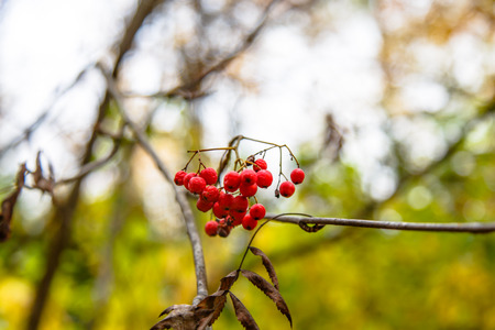 Rowan berries hanging on a branch among yellow leaves.