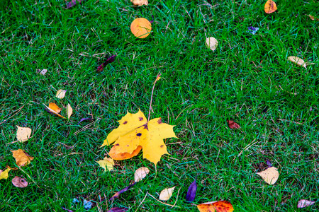 field maple: Yellow maple leaf lying on the green grass. Autumn in Russia.