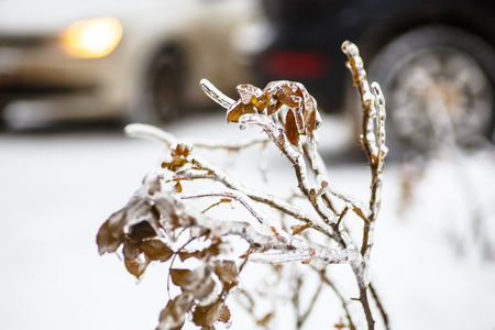 Freezing rain, when frost is not snow, but rain, water freezes on the branches of trees, leaves, and berries. A rare natural phenomenon. Can be used to illustrate the winter, frost and natural anomalies. Stock Photo