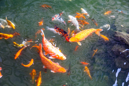 koi: Red colored fish swim in the pond in the green water. Stock Photo