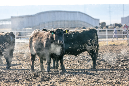 black angus cattle: Bulls Black Angus in a pen large. Stock Photo