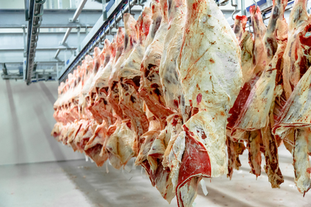 The meat processing plant. carcasses of beef hang on hooks. Archivio Fotografico