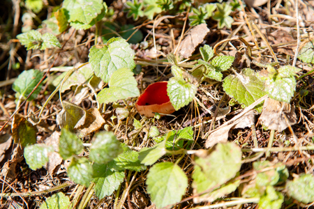 somerset: Early mushrooms Sarcoscypha coccinea.