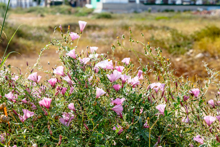 Many of the flowers of the field Bindweed (Convolvulus althaeoides) grow in the field. Banco de Imagens