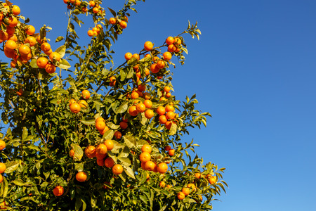 Tangerines grow on a tree against the blue sky